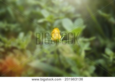 Beautiful small yellow flower in green field