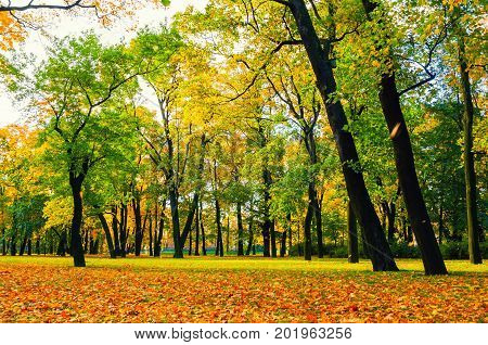 Autumn landscape in cloudy weather. Golden autumn trees in city autumn park with fallen yellow autumn leaves. Colorful autumn landscape scene of autumn park with yellowed autumn trees