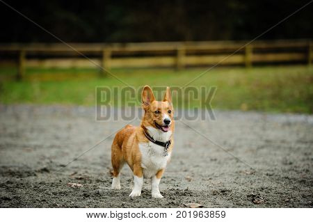 Welsh Pembroke Corgi dog standing in muddy pasture