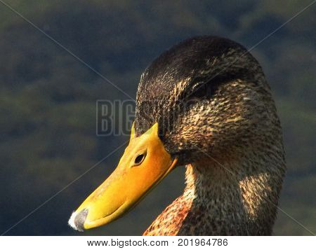 A closeup of a hen duck's head with water in the background.