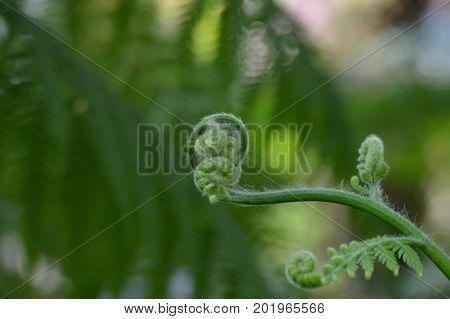 A small fern fiddlehead in the garden