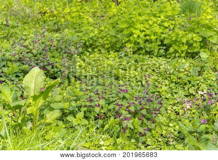 dense ground cover vegetation closeup in a forest at spring time