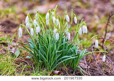 Some Snowdrops in the spring in thuringia