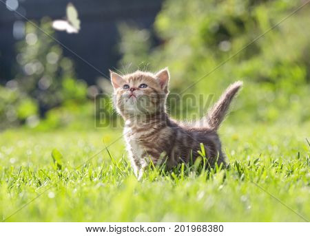 Young cat outdoor looking at butterfly