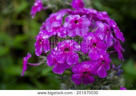 garden geranium, flower, garden, flowerbed, bud, plant, bud flower garden with purple petals.