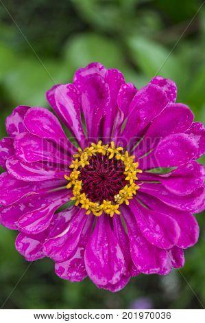 Garden gerberas, flower, garden, flowerbed, bud, plant, bud flower garden with purple petals