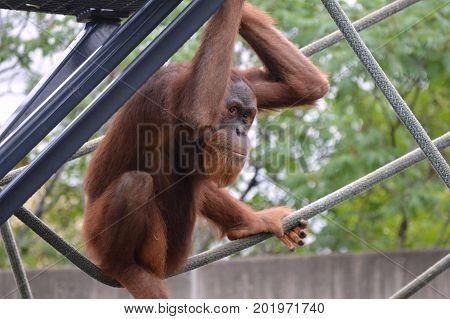 A playful orangutan on the ropes in the outdoors