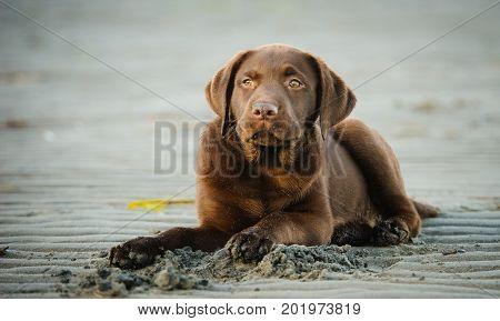 Chocolate Labrador Retriever dog lying on sand beach