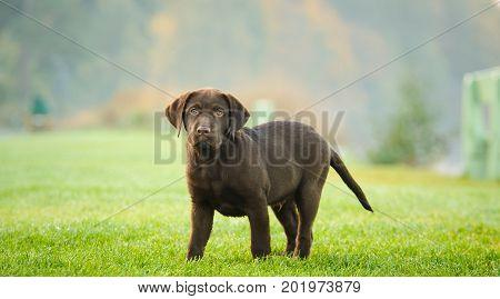 Chocolate Labrador Retriever puppy dog standing on grass