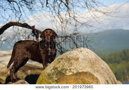Chocolate Labrador Retriever dog in nature with mountains