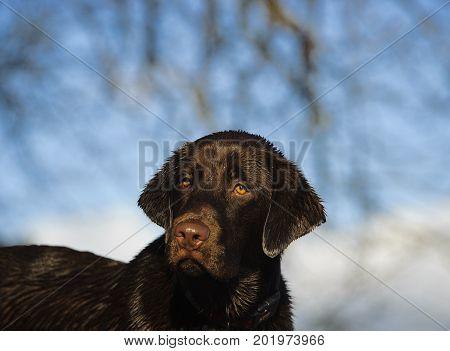 Chocolate Labrador Retriever dog portrait with blue sky and branches