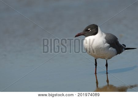 A single laughing gull on South Padre Island Texas.