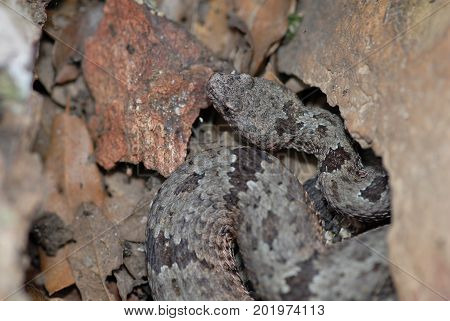 A banded rock rattlesnake photographed between the boulders in southern Arizona.