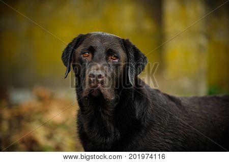 Chocolate Labrador Retriever dog against yellow grunge