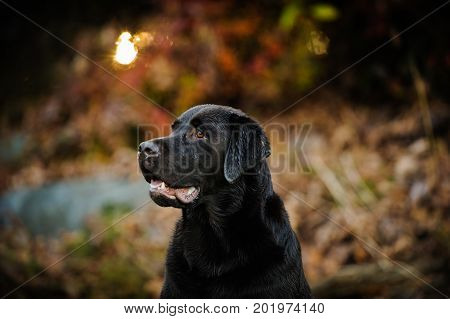 Chocolate Labrador Retriever dog in forest with fall colors
