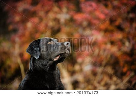 Chocolate Labrador Retriever dog portrait in red leaves