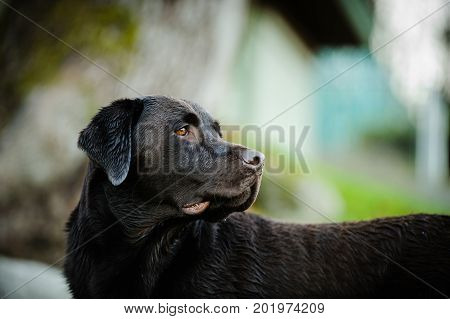 Chocolate Labrador Retriever dog portrait in natural background