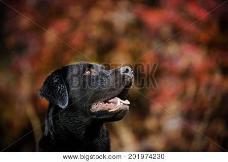 Chocolate Labrador Retriever dog head shot in red bushes