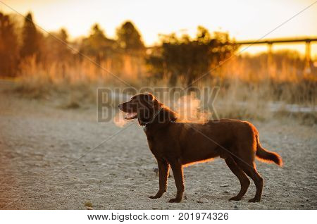 Chocolate Labrador Retriever dog standing in park in the cold with morning light