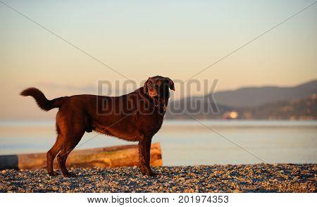 Chocolate Labrador Retriever dog standing on beach shore