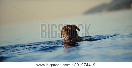 Chocolate Labrador Retriever dog swimming in blue water with ball