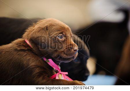 Chocolate Labrador Retriever puppy dog wearing pink bow