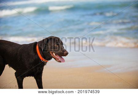 Chocolate Labrador Retriever dog on ocean beach