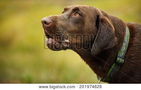 Chocolate Labrador Retriever dog head shot portrait