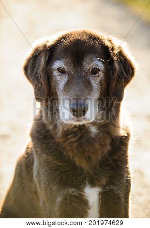 Senior Chocolate Labrador Retriever mixed breed dog portrait