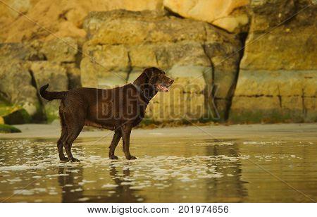 Chocolate Labrador Retriever dog standing on wet sand beach