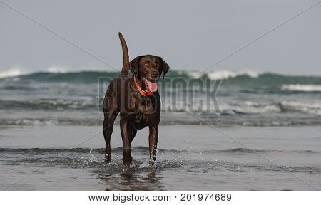 Chocolate Labrador Retriever dog standing in ocean with waves