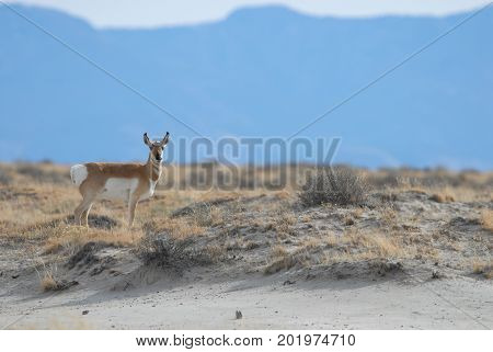 An adult pronghorn photographed in southern New Mexico.