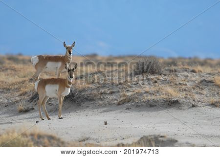 These two pronghorn were photographed in the arid grasslands of southern New Mexico.