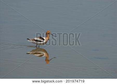 This american avocet is hunting in the shallow wetlands photographed in central Kansas.