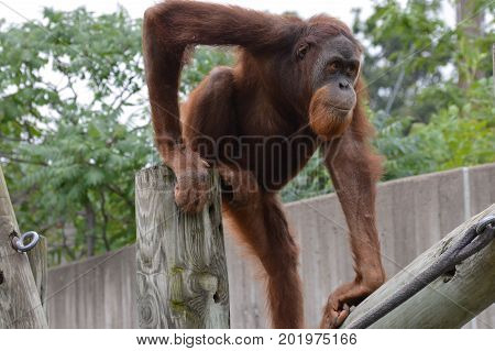 A juvenile male orangutan playing in the outdoors