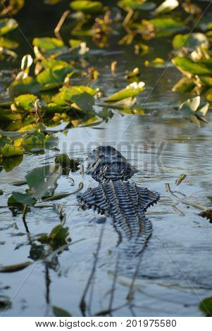 The American alligator swimming into a group of aquatic plants in south Florida.