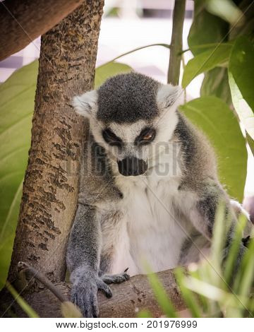 Madagascar ring tailed lemur, looks like he has a hangover or is staring someone down, green jungle foliage behind seated gray and white cute animal with black ringed orange brown eyes that are slits looking down and out contemptuously