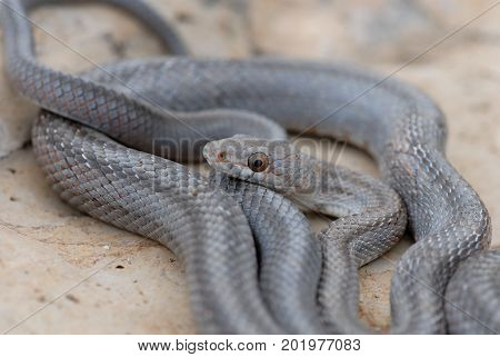 A bairds ratsnake coiled on a limestone rock in western Texas.