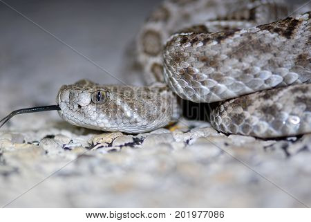 The western diamond back rattlesnake is a common species in the south western United States.