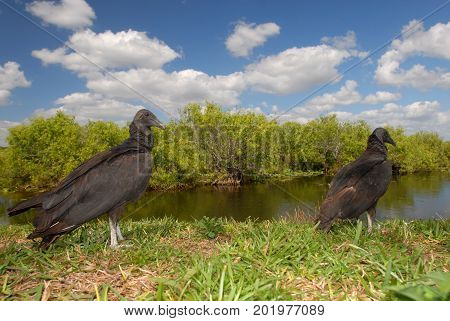 Two American black vultures overlook the swamp in Everglades National Park.