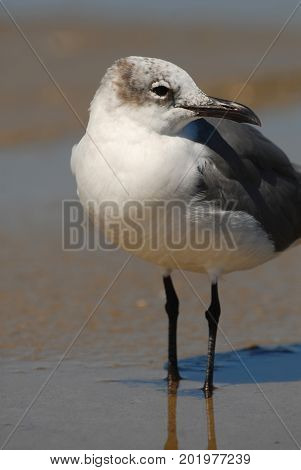 A portrait of a seagull hunting the tidal pools and shallow shores around South Padre Island.