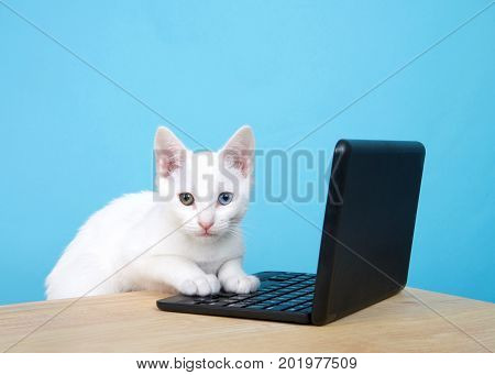 Portrait of one cute white kitten with heterochromia or odd-eyes leaning on a computer keyboard on miniature laptop looking directly at viewer. Wood table powder blue background with copy space