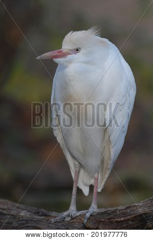 This cattle egret appears to be posing while perched on a limb.
