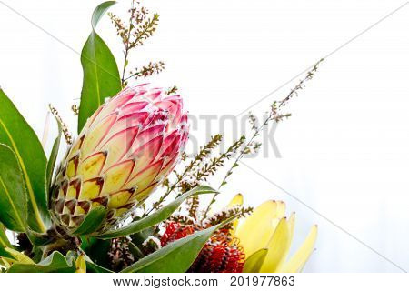 Close Up Of Pink And Yellow Protea Flower Against White Background