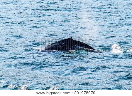 Back of a humpback whale seen during a whale watching excursion.