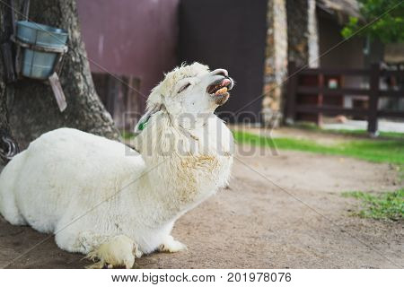 Llama Or Alpaca (vicugna Pacos), Close Up Photograph Of A White Alpaca