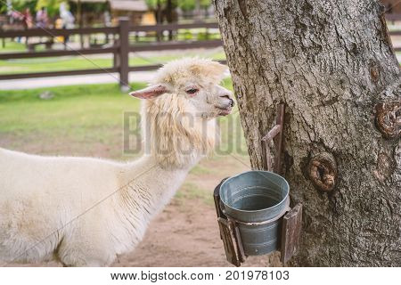 Llama Or Alpaca (vicugna Pacos), Photograph Of A White Alpaca Drinking Water On Field