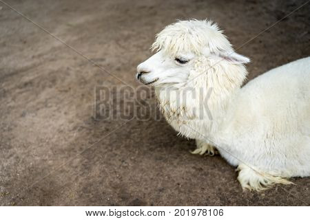 Llama Or Alpaca (vicugna Pacos), Close Up Photograph Of A White Alpaca Resting On Field