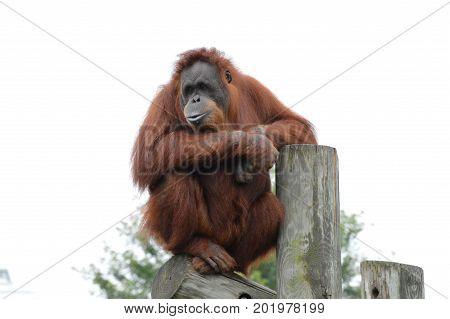 An orangutan in the outdoors during summer