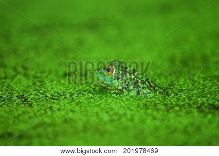 A green frog submerged in the water surrounded by green duck weed.